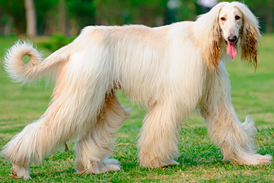 Silky haired afghan hound