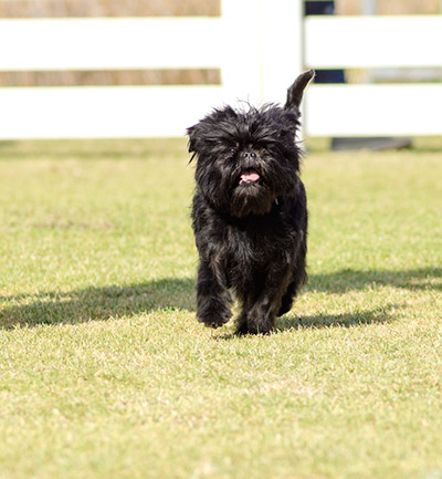 affenpinscher dog walking in the park