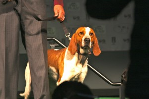 American English Coonhound at a show