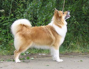 Icelandic Sheepdog side profile