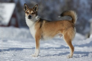 Norwegian Lundehund in the snow