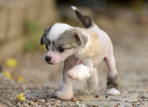 pictures of chinese crested dogs