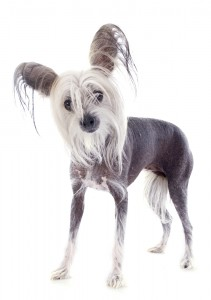 Chinese crested breeders