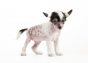 hairless dogs for sale