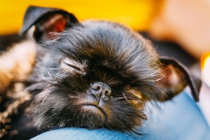 Brussels Griffon puppy pictures