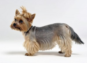 Yorkshire Terrier side profile