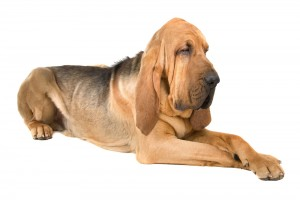 bloodhound dog pictures