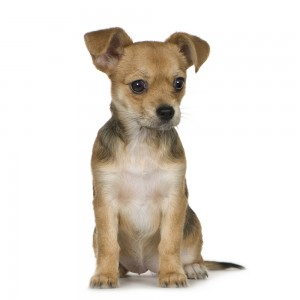chorkie puppy pictures
