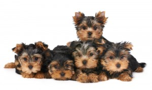 Five adorable Yorkshire Terrier puppies